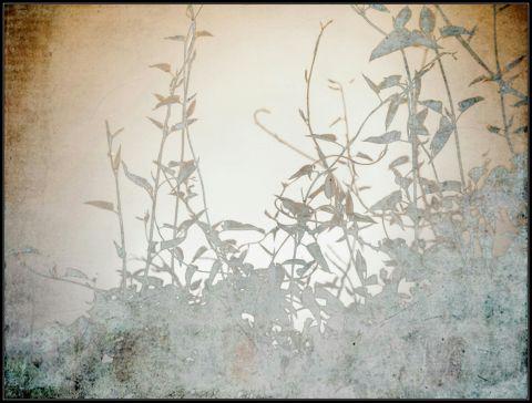 Silverlace Vine